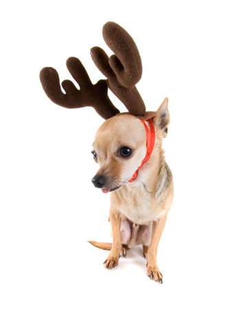 a tiny chihuahua dressed as a reindeer photo