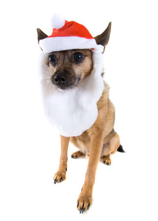 a chihuahua mix dressed up as santa claus Stock Photo - 3874736