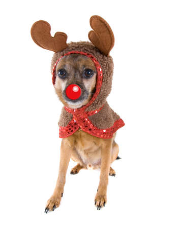 a chihuahua mix dressed as a reindeer