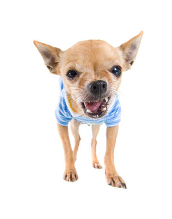 a cute chihuahua dressed up in clothes