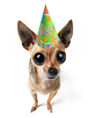 a tiny chihuahua with big eyes and a birthday hat