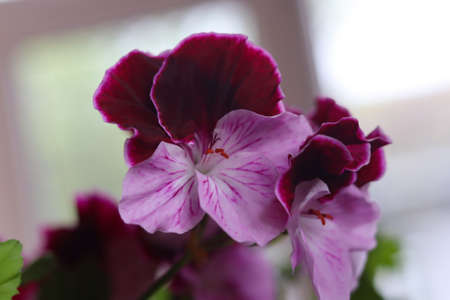White and purple blooming geraniums.Geranium Grandiflorum, Regal Geranium