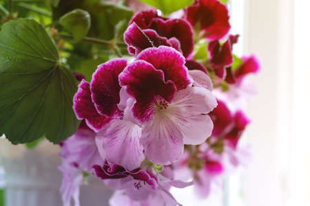 "White and purple blooming geraniums.Geranium Grandiflorum, Regal Geranium ""Elegance Jeanette"""