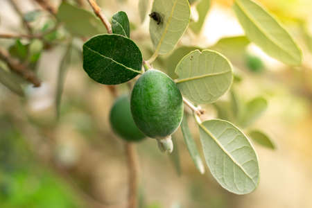 Ripe feijoa fruits on a tree (lat. Acca sellowiana). Fresh feijoa, almost ready to harvest.