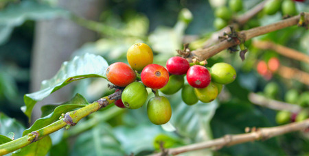 unpicked: The fruit of the coffee tree fresh berries still on the branch.
