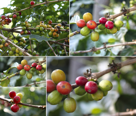 coffea: Collage of colorful berries on branches of coffee tree.