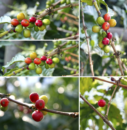 bush bean: Collage of colorful berries on branches of coffee tree Stock Photo