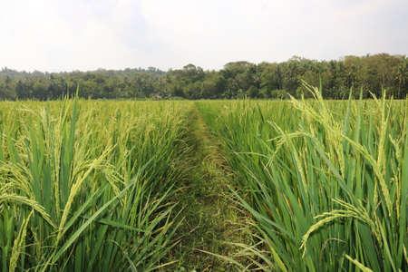 インドネシアの農業、アジア、水田、ムギ、水田、インドネシアの農業 |アジア 写真素材