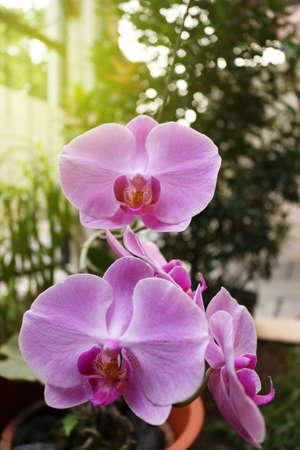 蘭の花、インドネシア、インドネシア、アジアの花、インドネシアの工場の花 |アジア
