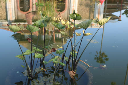 Plant in the pond, Indonesian | Asian