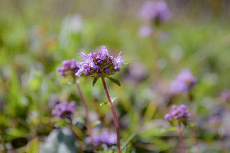 Blue wild flowers on green sfond photo