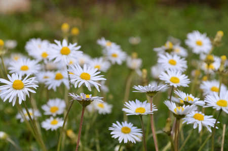 Wild asters in the nature photo