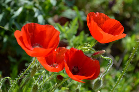 Red poppies on green grass sfond photo