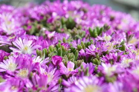 Violet flowers sfond photo