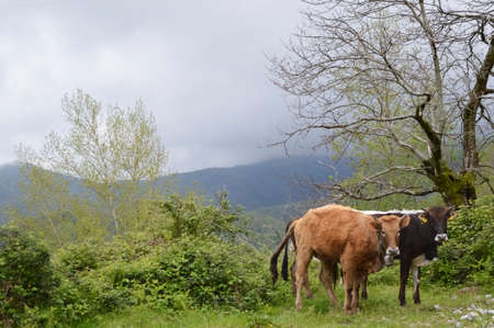 Cows in the mountains Stock Photo - 28040374