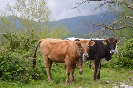 Cows in the mountains Stock Photo - 28040519