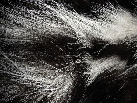 zorrillo: Skunk real de pieles  Foto de archivo
