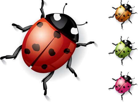 escarabajo: Mariquita sobre blanco