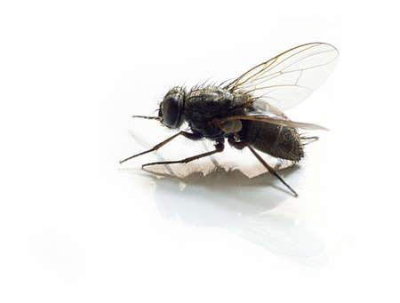 separacion de basura: aislados de moscas en fondo blanco con la reflexi�n 2  Foto de archivo