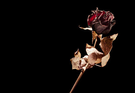 condolence: dead rose on black background