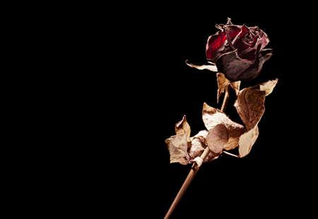 dead rose on black background