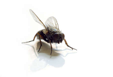 isolated fly on white background with reflection Standard-Bild