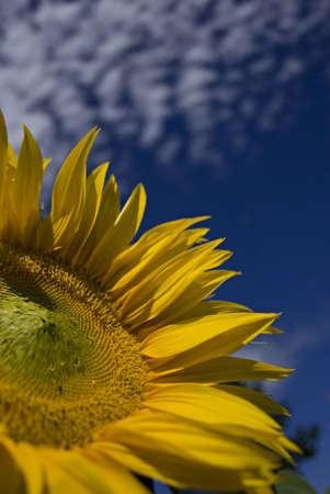 sunflower with clouds Standard-Bild