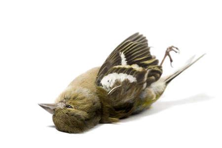 dode bladeren: geïsoleerd dode vogel