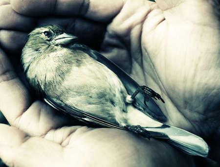 acidic: dying bird in hands Stock Photo