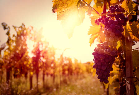 wine and grapes: Vineyards at sunset in autumn harvest