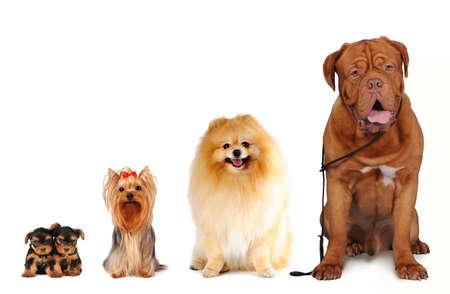 犬サイズの異なる座ると白で隔離のカメラに探しているのグループです。ヨークシャー テリア、スピッツ、bordoss 犬。