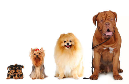 Group of dogs different sizes sit and looking into camera isolated on white. Yorkshire terrier, spitz, bordoss dog.
