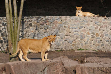 Two lioness portrait in zoo. One stand, one lie. photo