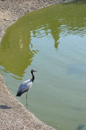 heron portrait near lake looking at camera and standing in water on one leg photo