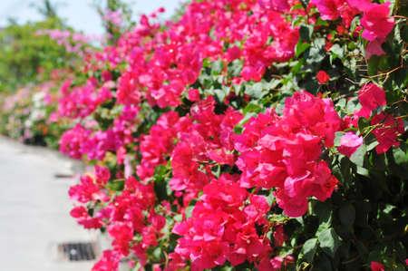 tropics: Beautiful pink flower fence in avenue in tropics
