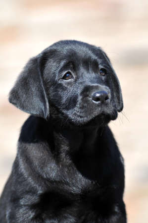 retreiver: Cute tender black little labrador retreiver puppy portrait closeup