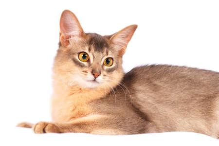 somali: Pretty purebred somali cat lying on white sofa portrait