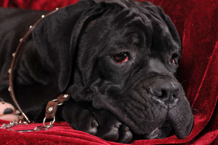 cane collars: Black cane corso four month puppy portrait closeup lying on red velvet .