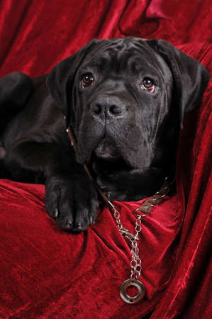 Cane corso four month puppy portrait looking at camera photo