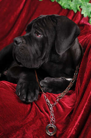 cane collars: Profile of cane corso puppy black color four month Stock Photo