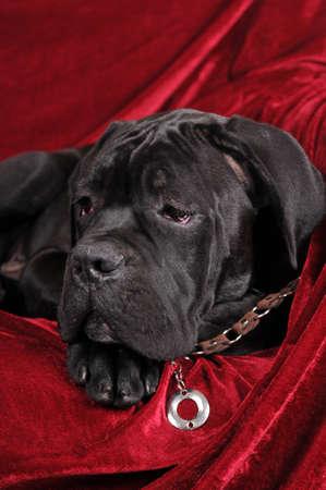 cane corso: Cane corso four month puppy portrait Stock Photo