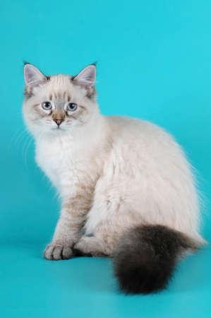 fluffy tuft: Siberian kitten sitting