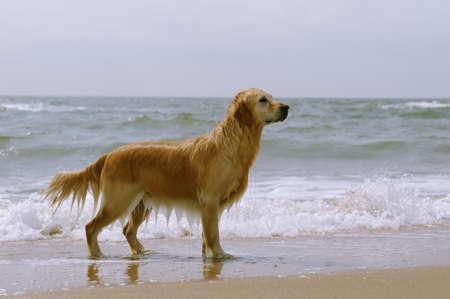 Golden retriever on the beach photo