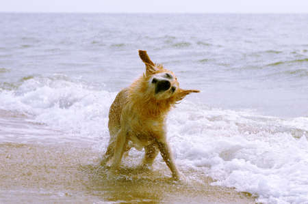 shaking out: Dog on the beach shaking out water drops from the coat Stock Photo