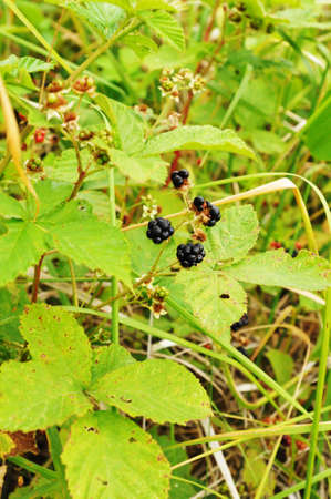 bramble: First blackberry on bramble in summer