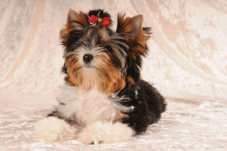 lap of luxury: Yorkshire terrier puppy tricolor lying on light velvet background. Breed name is biver-york Stock Photo