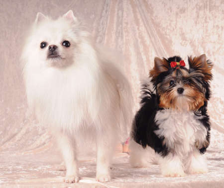Portrait of two lap dogs standing on textile background and looking almost in camera photo