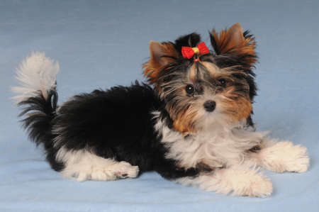 little cute puppy liyng on blue background photo