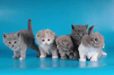 Group of five small fluffy kittens  Litter of scottish fold and strait, long and short haired  photo