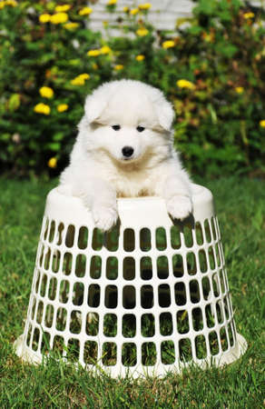 grass plot: Cute samoed puppy on the basket portrait outdoor